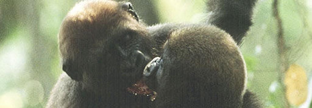 """Vi blir med inn i gorillaens fascinerende rike, i kveldens """"Globus 2""""."""