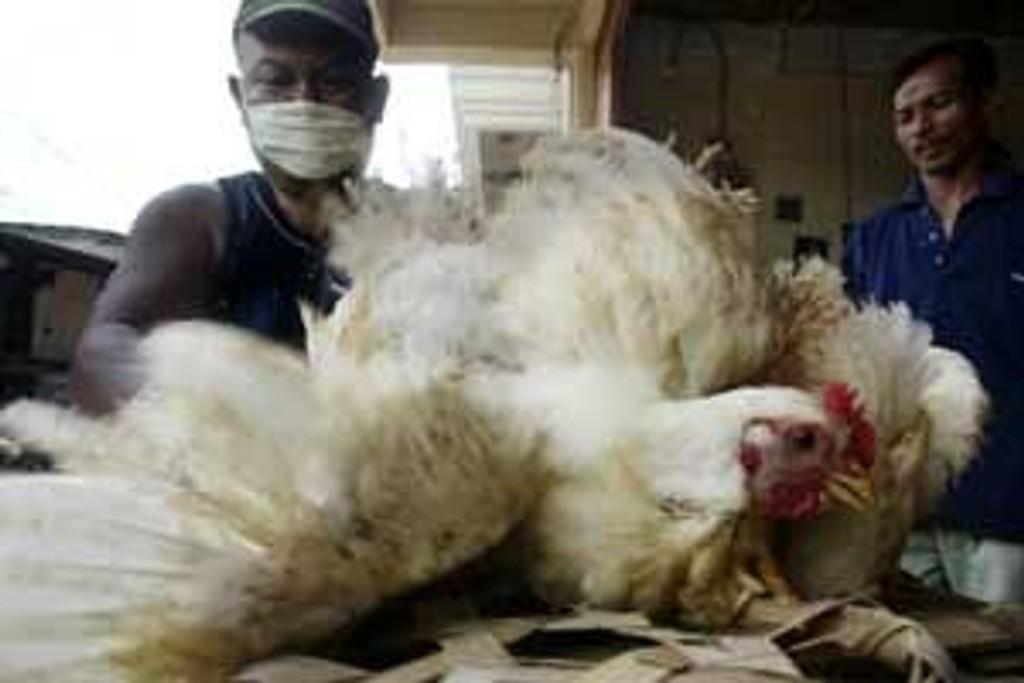En mann tar seg av høns på et marked i Jakarta i Indonesia etter at seks familiemedlemmer døde av fugleinfluensa.