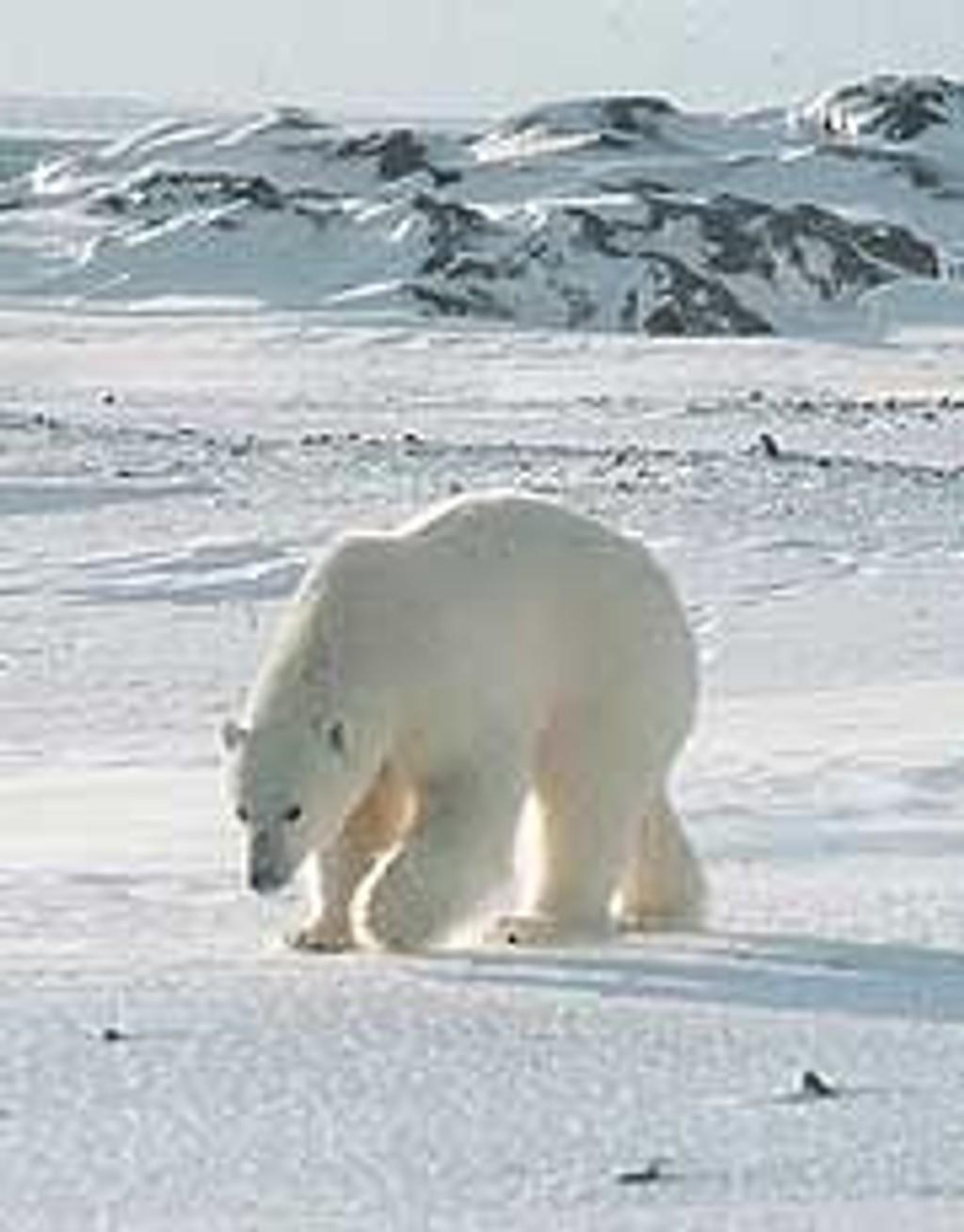 Isbjørn på Svalbard (Arkivbilde).