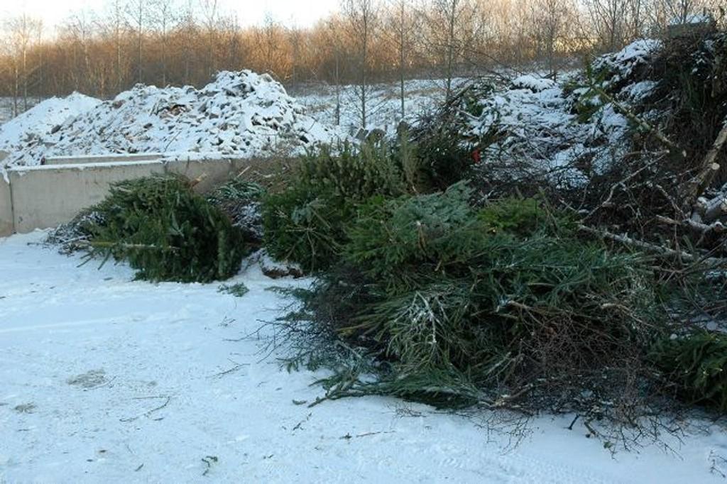 I dagene fremover vil nok denne juletrehaugen på Grønmo vokse betraktelig for nå må vi selv sørge for at granbusken komemr til sitt siste levested for deretter å bli malt opp og igjen bli til jord.