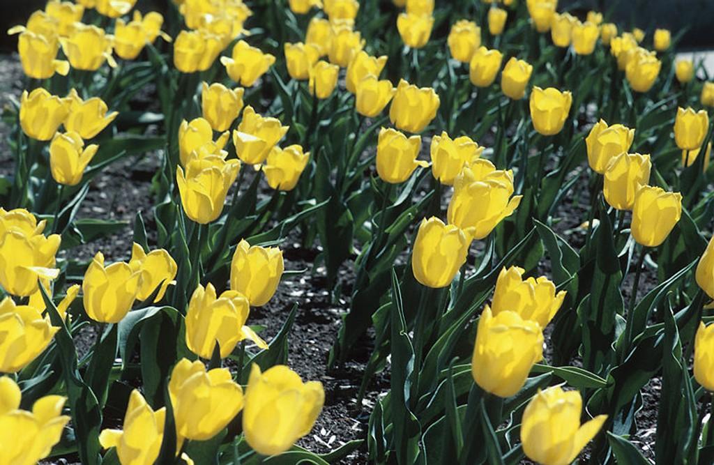 Tulipaner har blitt så populært at den har fått sin egen dag