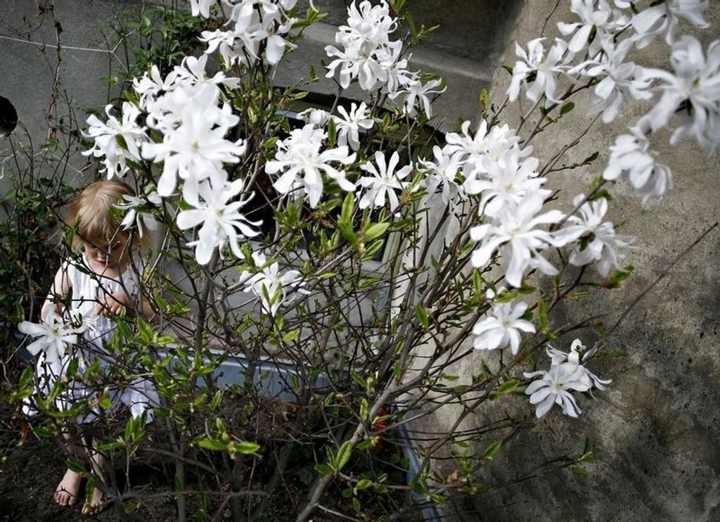 VAKKERT VÅRTEGN: Snøhvite blomster på stjernemagnolia avløser snøen om våren. Busken vil gjerne stå lunt og solrikt.