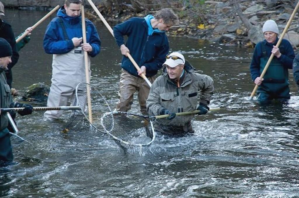 Oslomarkas fiskeadministrasjon (OFA) jobbet i forrige uke med å samle rogn fra stamfisk i Akerselva. Foto: Carl Stiegler