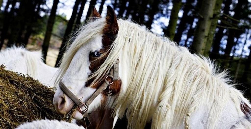 FLOTT: tinkerens kropp skal være kraftig og muskuløs. Manen og halen skal være imponerende, og hvis skinnet i tillegg er flekkete, og nesa ørlite romersk, kan enhver hestehandler gni seg i hendene.