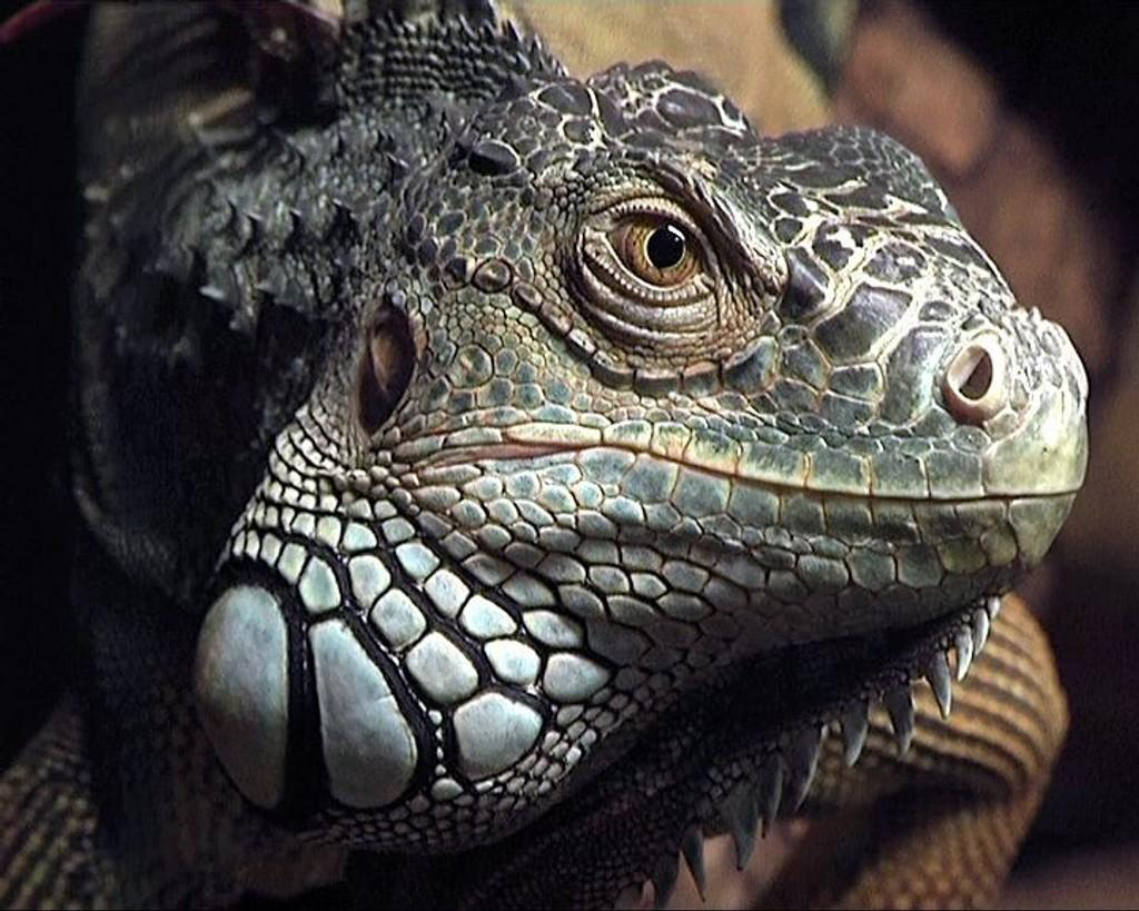JUNGELENS KONGE: Iguanen Charlie gransker gjestene, og omvendt. FOTO: Rolf Magnus W. Sæther