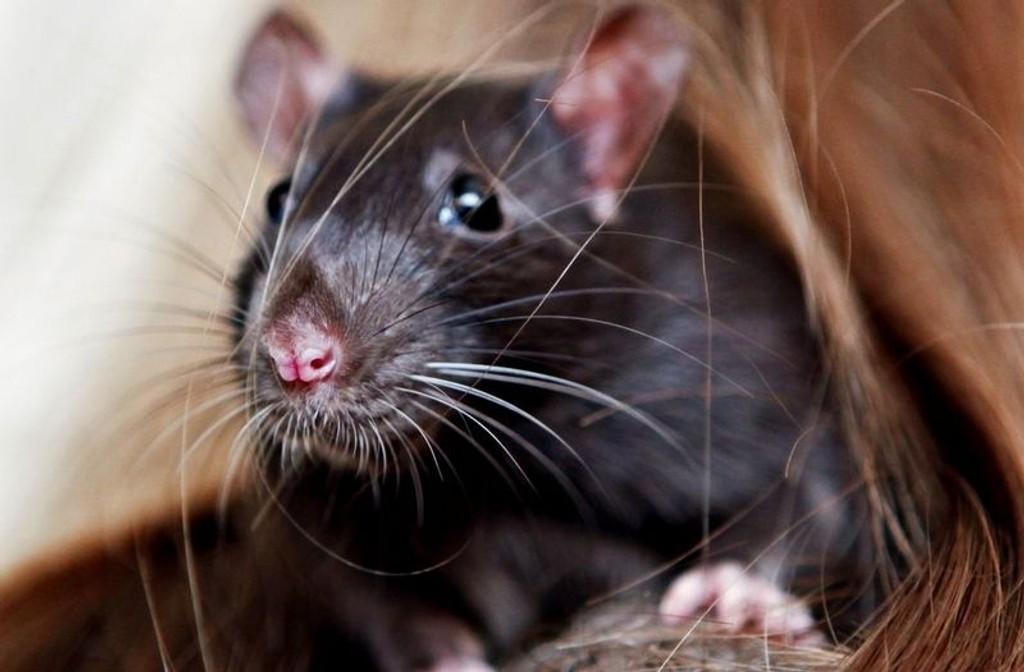 ROTTARI: Hetty liker seg best på skulderen til rotteeier Alva Sofie Knutsen Ims (9 år).