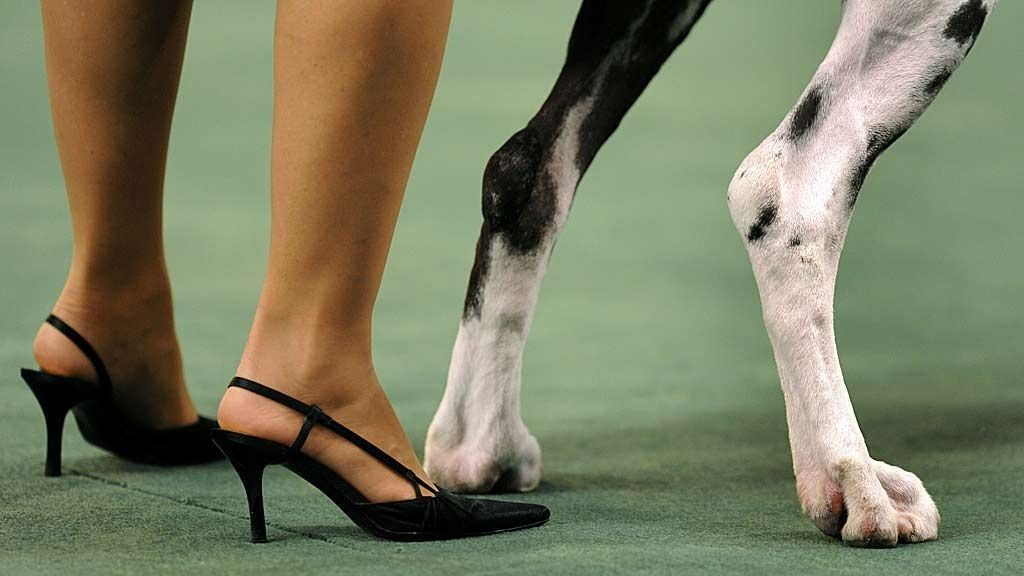 Judge Paula Nykiel stands behind a Great Dane in the Working Group during the 2009 133rd Westminster Kennel Club dog show at Madison Square Garden in New York February 10, 2009.