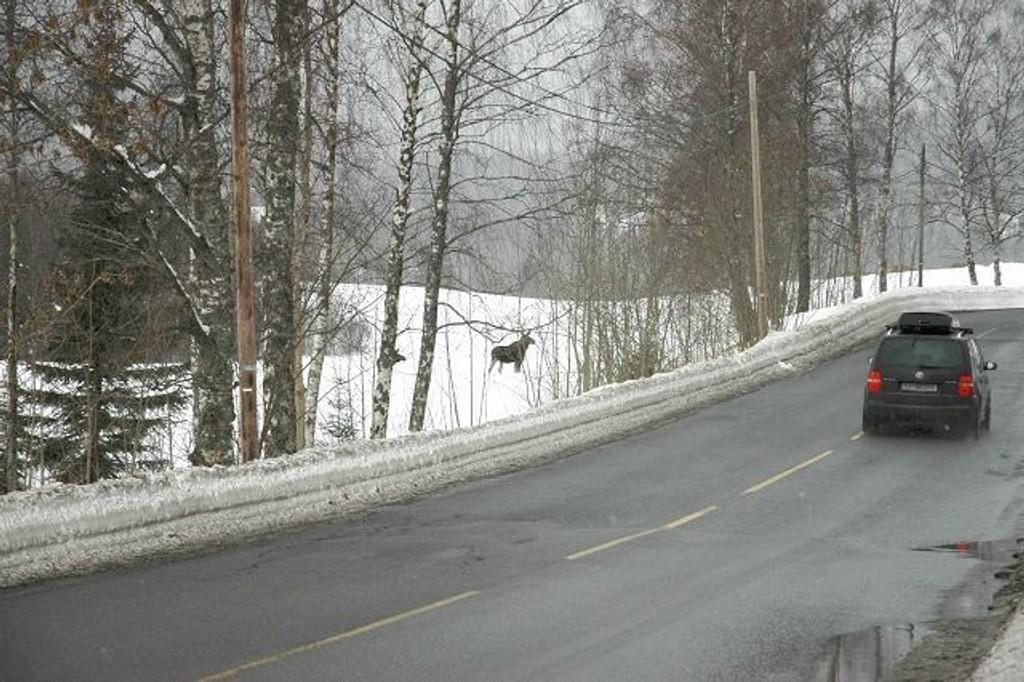 Disse elgene var på tur langs Sørkedalsveien i Sørkedalen forrige fredag. Store snømasser gjør at dyrene trekker mot bebyggelse og veier. Det er ekstra stor elgfare og Samferdselsetaten ber folk være ekstra forsiktig. Foto: Alexander Synstad