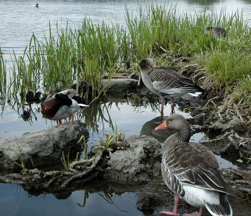 Disse fuglene er blant dem som nyter godt av den utrettelige innsatsen til Østensjøvannets venner. De blir neppe med inn på jubileumsfesten, men kanskje det vanker noen ekstra brødsmuler i anledning 25-årsmarkeringen? Arkivfoto: Sara Sægrov Ruud