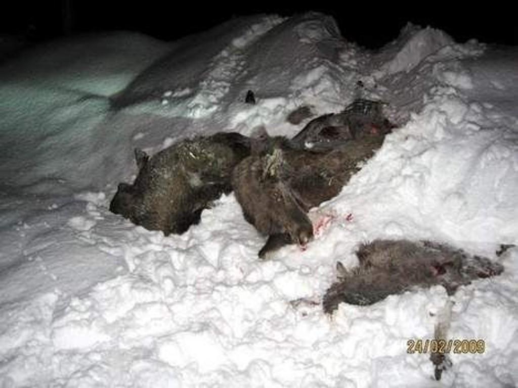 Denne elgen ble påkjørt av et tog ved Sandermosen stasjon i forrige uke.