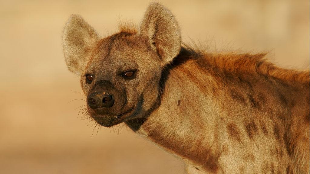 Hyene latter