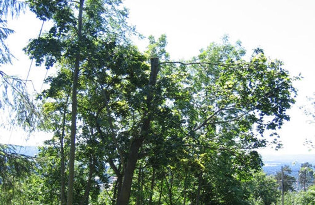 Etter at tomteeieren i Holmenkollen hadde gått løs på trærne på eiendommen til Oslo kommune.