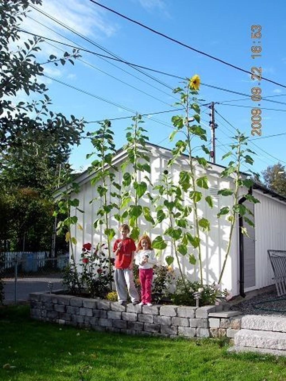 Nicolai Knudsen Bjørntvedt (9 1/2 år) og kusinen Helene Ingebretsen Knudsen (5 1/2 år) har i sommer hatt en konkurranse om hvem som kunne dyrke den lengste solsikken. foto: Privat