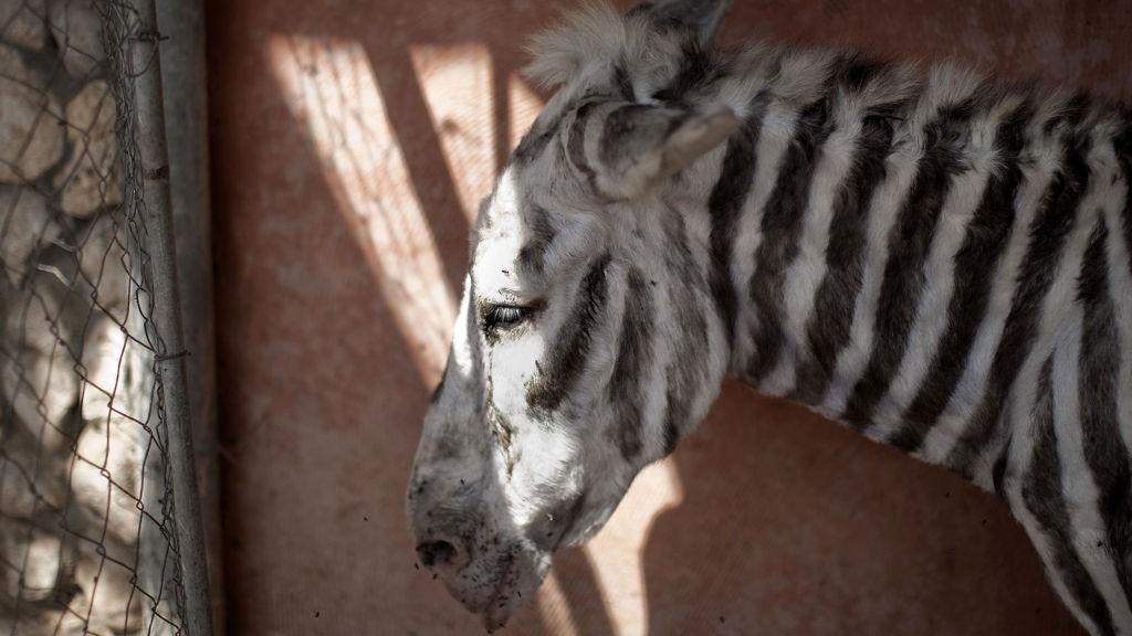 NYMALT: Dette eselet er ansatt som sebra i dyrehagen i Gaza.