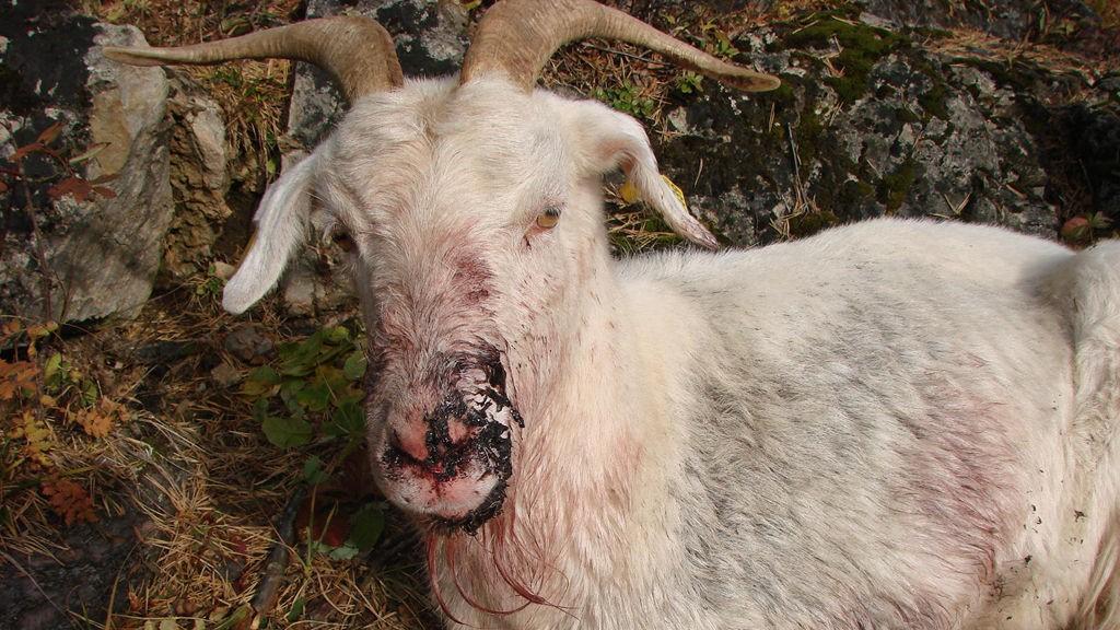 AVLIVET: Geita var hardt skadet og ble avlivet av veterinær.