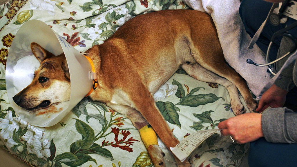 ETTER ULYKKEN: Dingo hos veterinær.