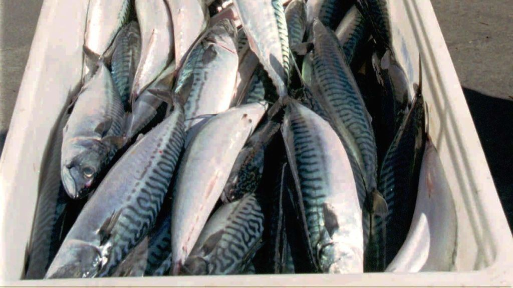 pelagisk fisk sild