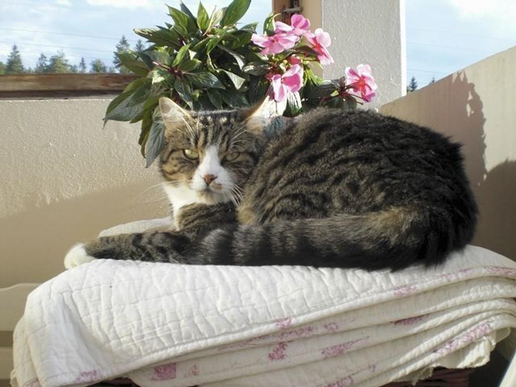 Katten Felix fra Lindeberg ble påkjørt. Bilisten stakk av. FOTO: Privat