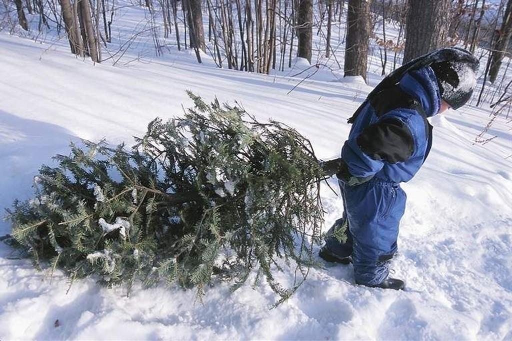 Hentes: Nå kan du bli kvitt det gamle juletreet ditt på en enkelt og grei måte. Illustrasjonsbilde: Clipart.com.