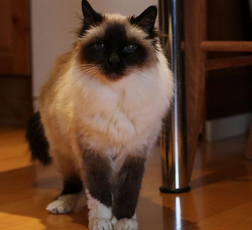 20 år: Chivas, som egentlig heter Jooel av Rambo, fylte 20 år før jul. Tips oss hvis du kjenner en enda eldre katt. Foto: Anne-Grethe Ulriksen/Nordstrands Blad