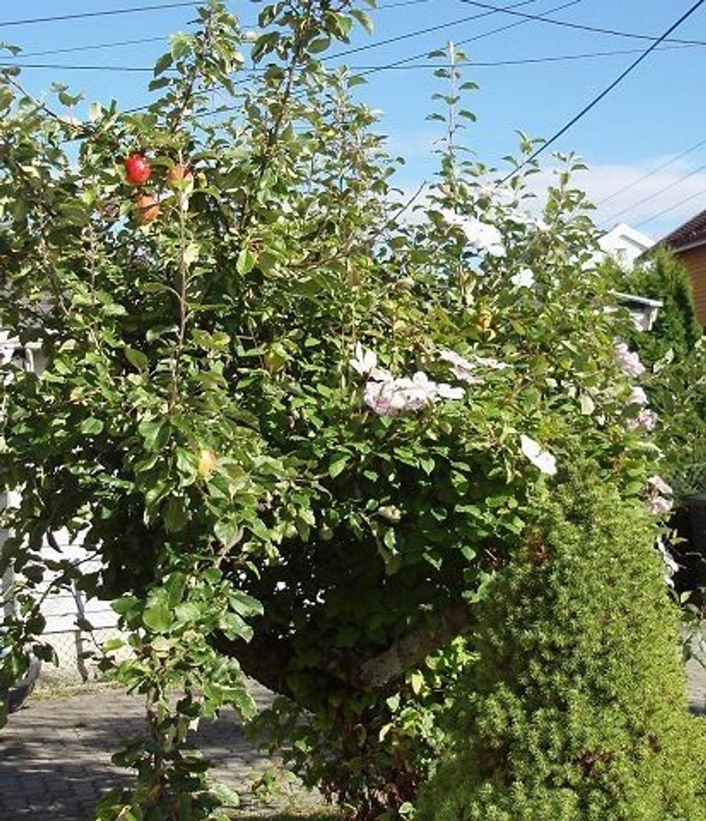 Blomstrer tre ganger i året: Epletreet i Nordlysveien.foto: Søren Jensen