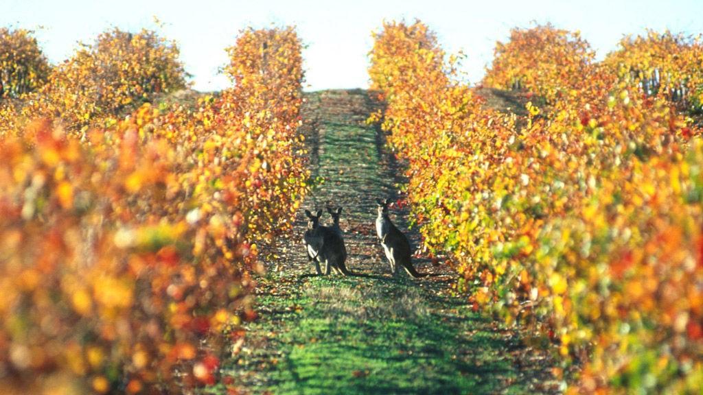Det er ikke uvanlig å se kenguruer hoppe mellom vinrankene på australske vingårder.
