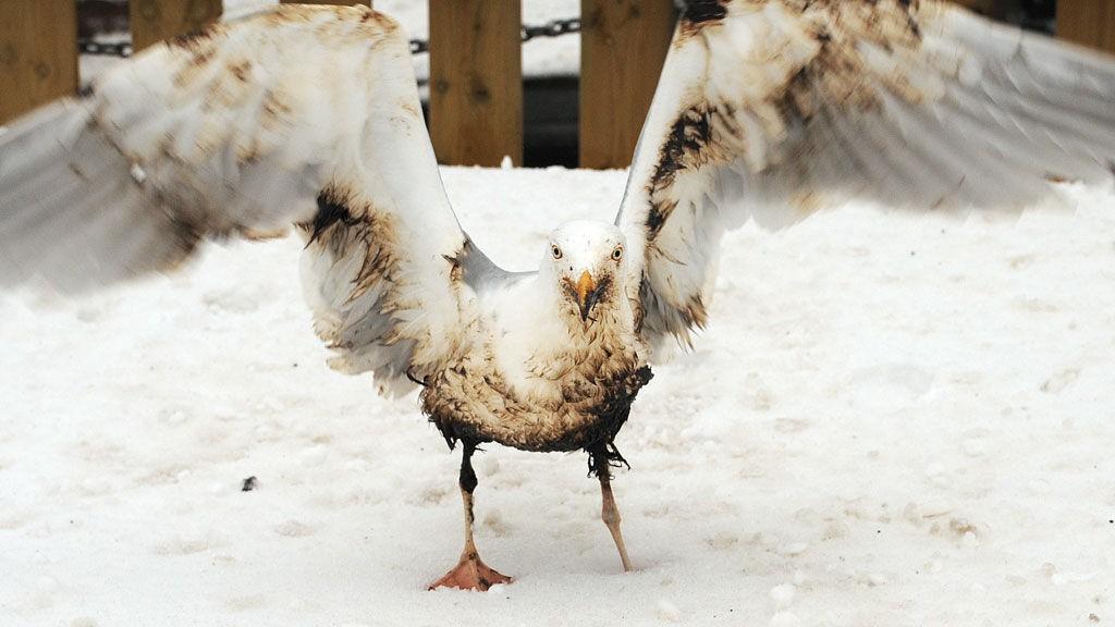 Det kommer stadig flere meldinger om oljeskadd sjøfugl