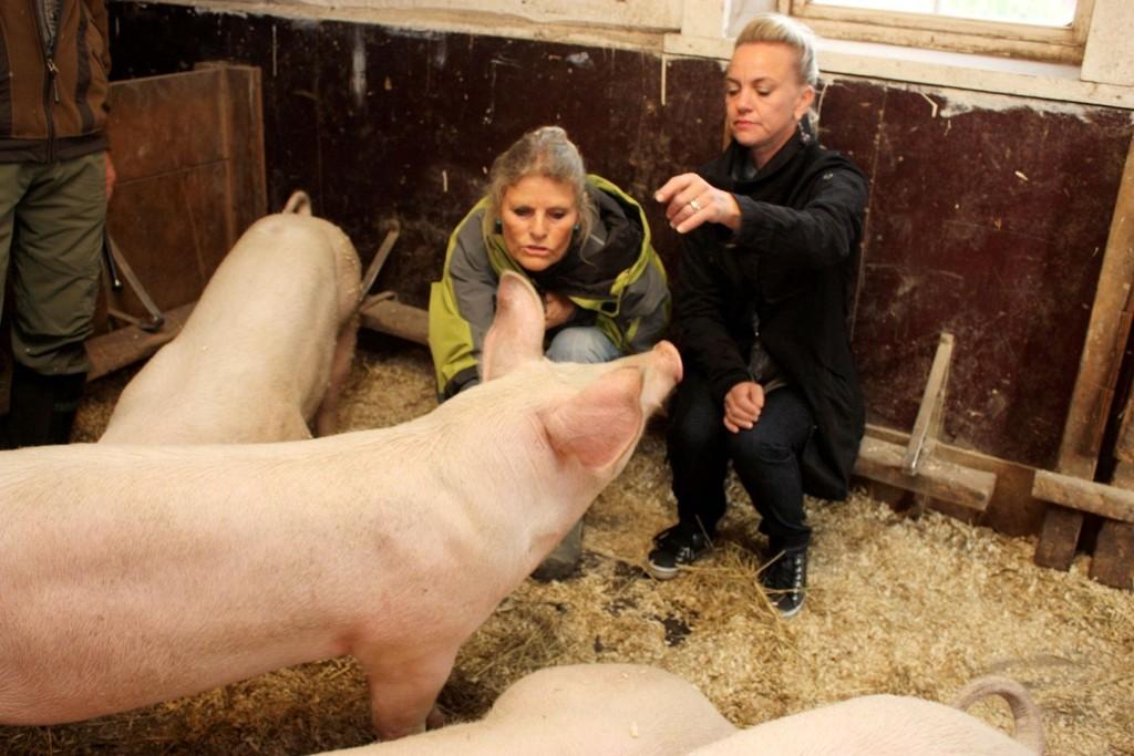KJÆLEGRISER: I grisebingen på Søndre Aas gård er de kjælegriser. Lite vet de at små familiemedlemmer blir til de nydeligste retter hos Helene Jahren i restaurant Tårnhuset på Kolbotn. Her er hun på besøk hos Anne Kinge på gården.