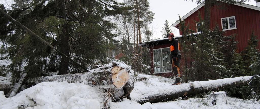 Gamle trær med dårlige røtter er farlige i en slik storm. Dette treet ligger veldig nær huset til høyre.