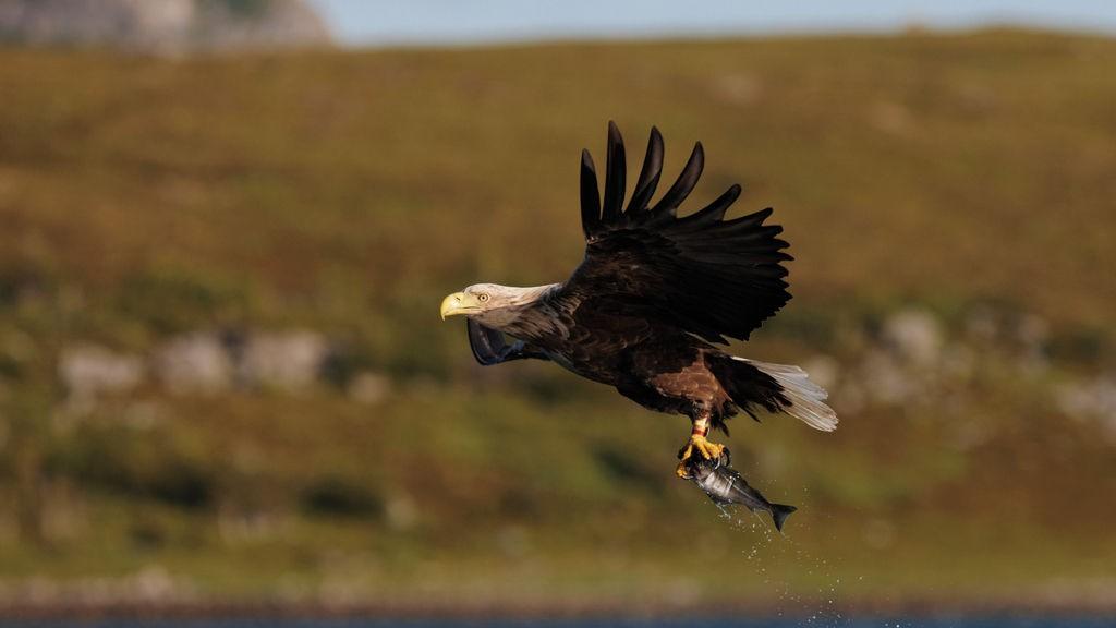 Ørnen er majestetisk og vakker å se når den fanger sitt bytte.