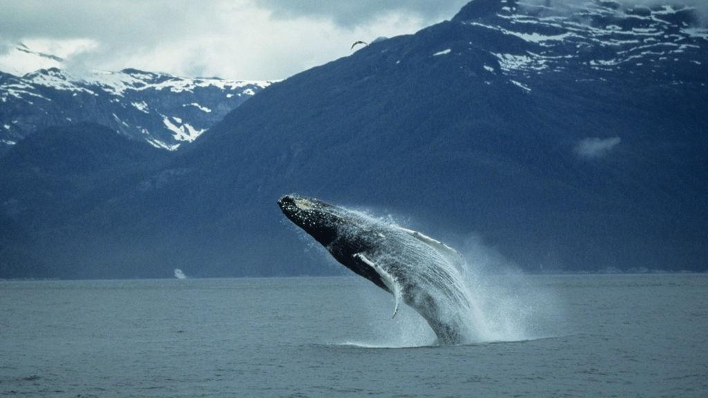 Knølhvalen har nylig begynt å jakte sild utenfor norskekysten og er du heldig får du se et av deres fantastiske hopp.