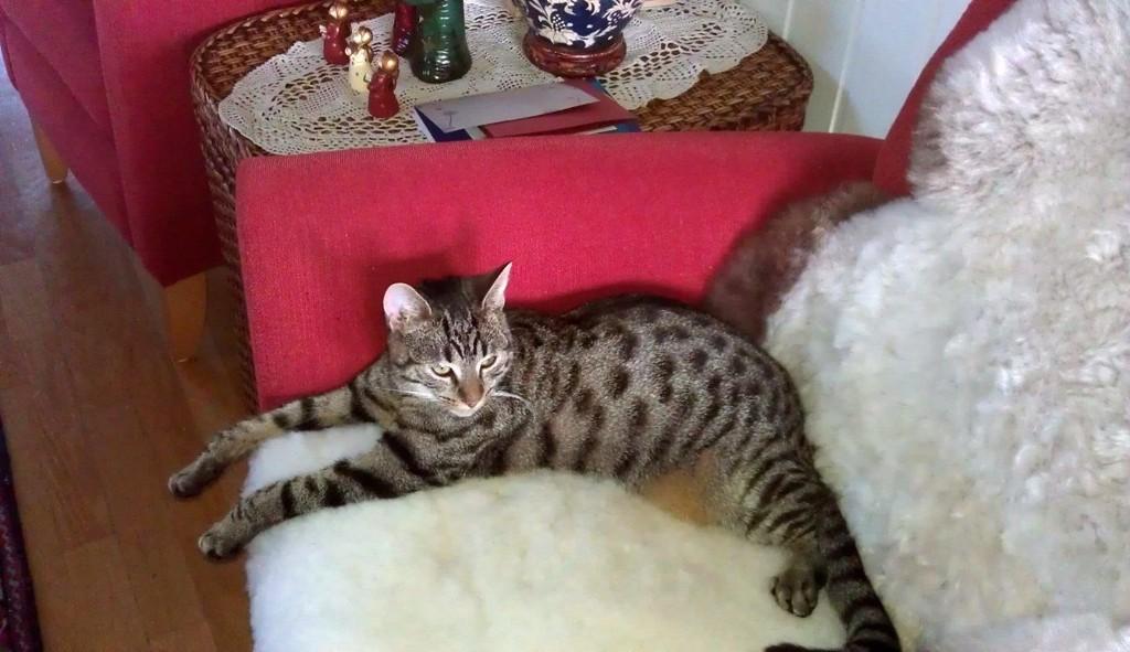 FORSVUNNET: Katten Linus har ikke vært hjemme hos matmor siden mandag 26. mars. Nå spør eieren om hjelp fra deg.