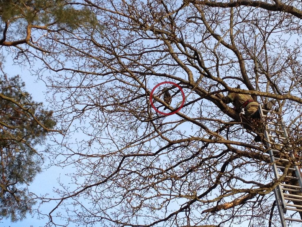 REDDET NED: En gråstripete katt ble reddet ned fra dette treet i Solveien 8/10 søndag i påsken.