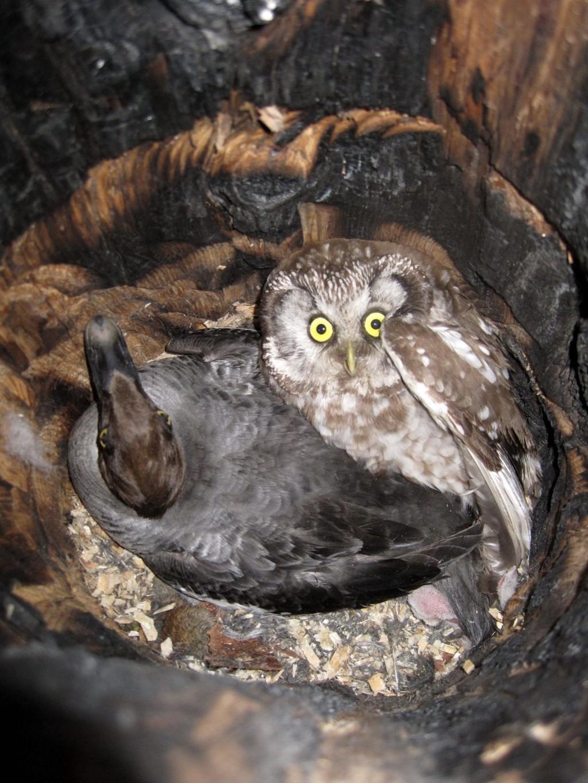 DELER: Perleugla og kvinanden deler rugeplass i den hjemmelagede fuglekassa.