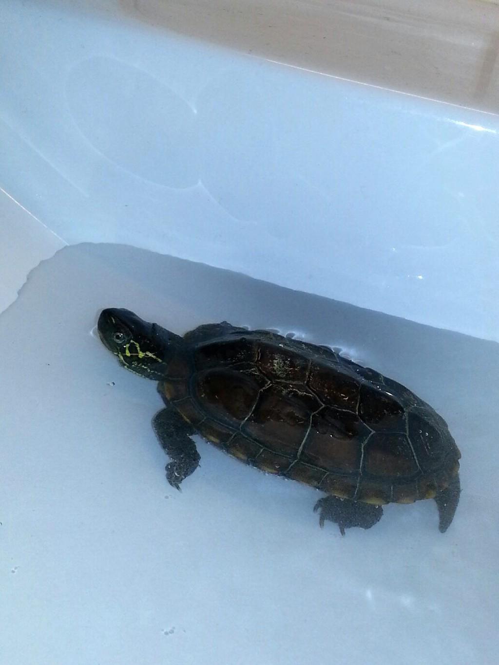MIDLERTIDIG LOSJI: Denne lille skilpadden får bade i en vask på Lambertseter inntil eieren blir funnet eller nytt permanent hjem er på plass.