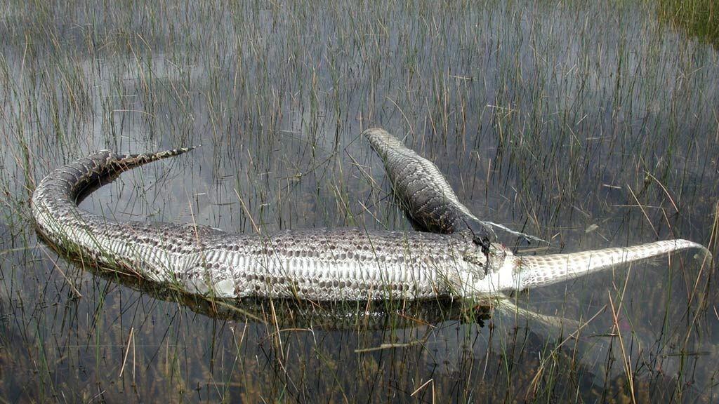 Slange spiste krokodille