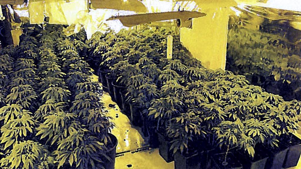 I leiligheten fant politiet inni hampen mange cannabisplanter.