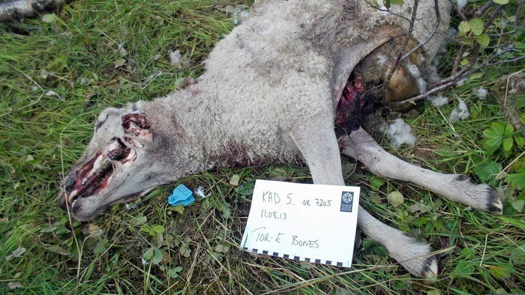 Spor på stedet viser at de ni sauene antageligvis er drept av en ung hannbjørn.