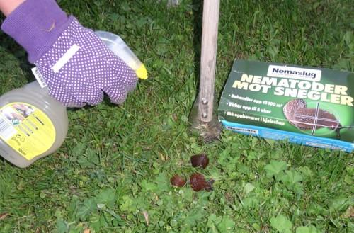 SNEGLEGILJOTIN: En egensnekret sneglegiljotin viser seg å være et effektivt redskap for å kvitte seg med hundretalls av snegler i løpet av en kveld.