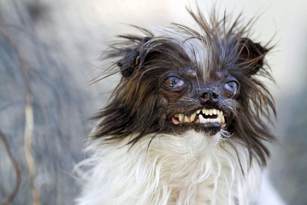 Hunder Verdens 11 Styggeste Hunder