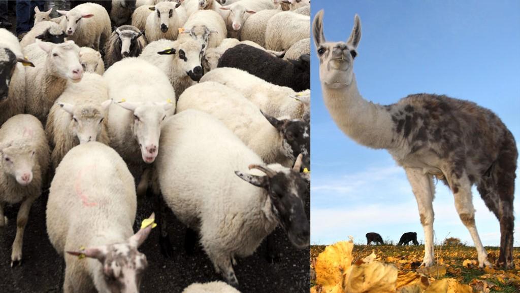 VOKTER: Flere steder i verden har lamaer blitt brukt til å vokte sauer. Foreningen Bygdefolk for rovdyr mener det er et tiltak som bøndene bør få støtte til. Foto: Scanpix