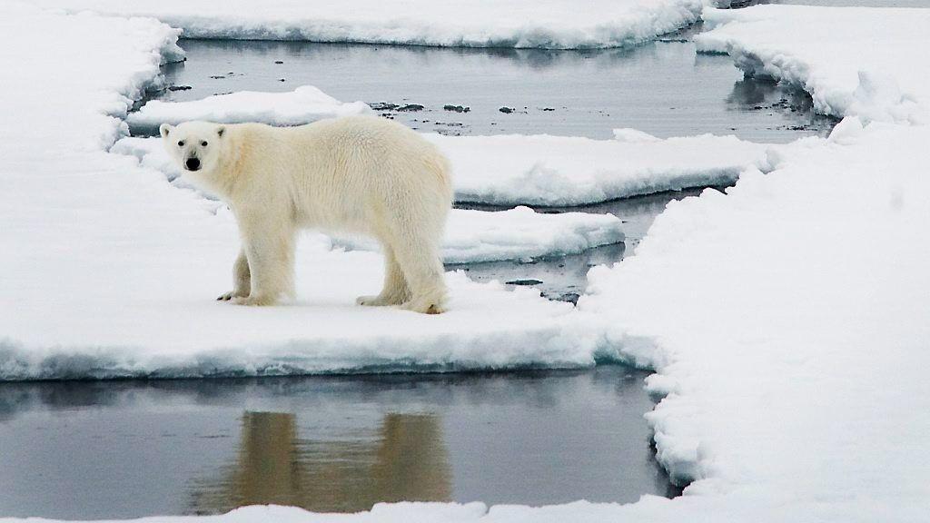 – I tilfeller der mennesker som driver aktivitet ute i felt, blir plaget av isbjørn, er det menneskene som må fjerne seg, sier sysselmann Odd Olsen Ingerø.