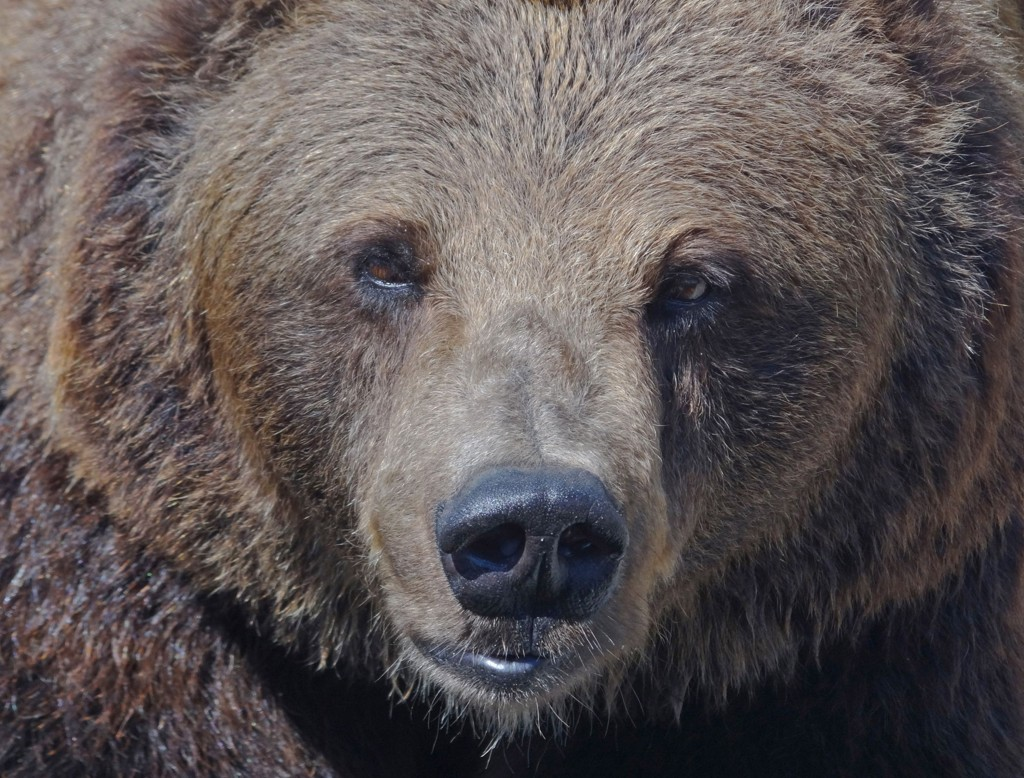 PÅKJØRT: En bjørn ble påkjørt på E6 natt til lørdag.