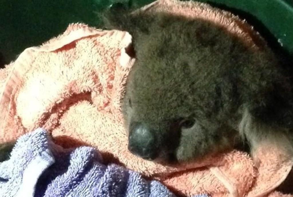 REDDET: Koalaen Sean ble onsdag reddet fra døden etter å ha blitt påkjørt av en bil. Foto: Twitter