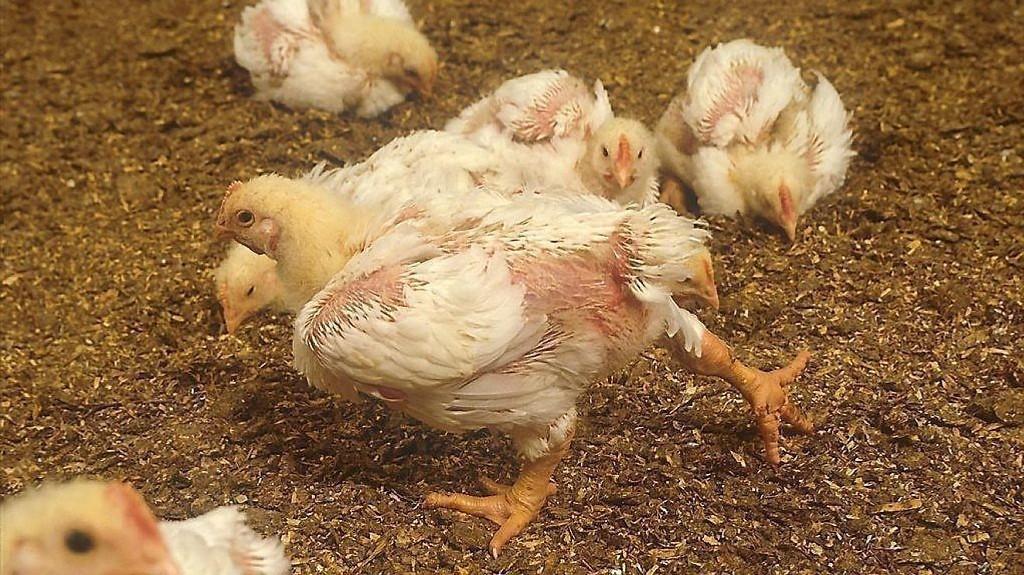 Antibiotikaresistente bakterier er så utbredt på norsk kylling at forsker mener myndighetene bør vurdere å merke den som et risikoprodukt.