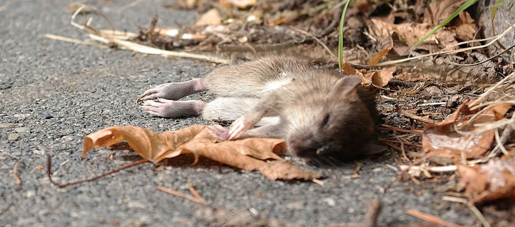 Denne rotta lå på fortauet i Åkebergveien denne uka.