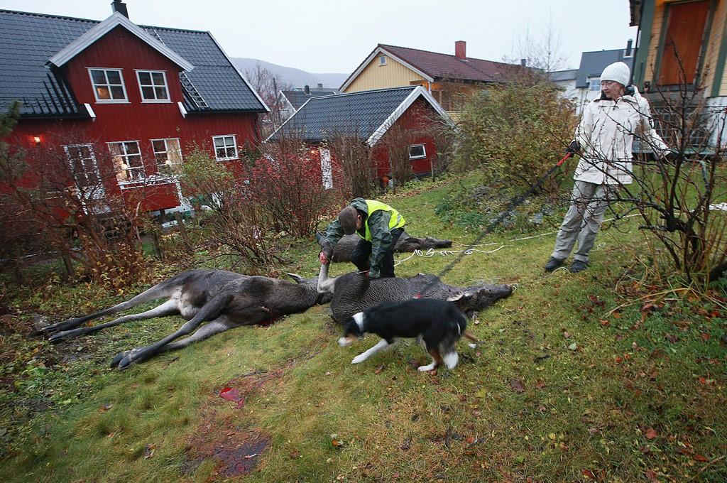 NEDE FOR FELLING: Merethe Sørensen opplevde å få tre elger skutt i sin egen hage. - Trist, men ikke til å unngå, sier hun.
