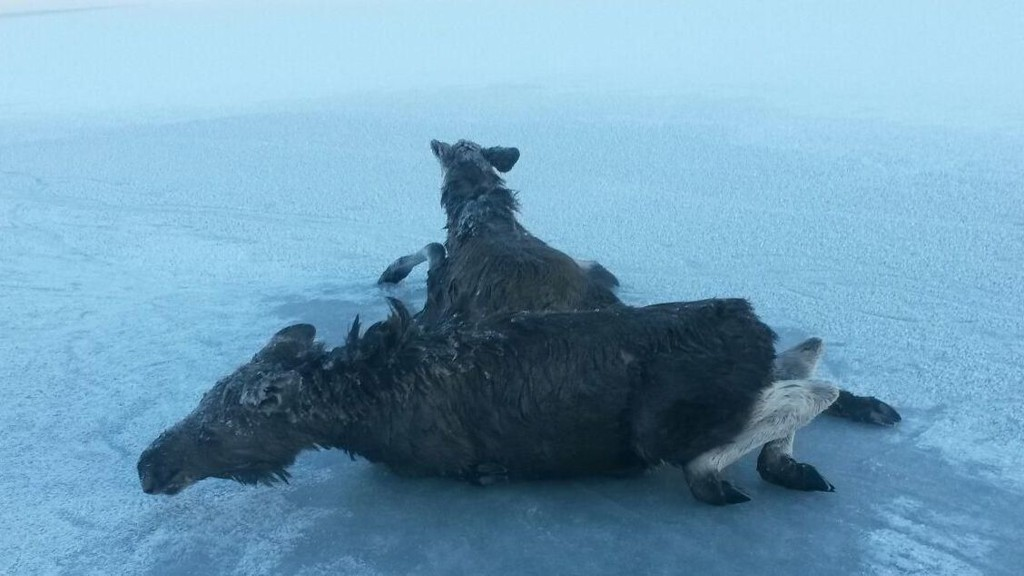Her faller elgkalvene gjennom isen på Slidrefjorden.