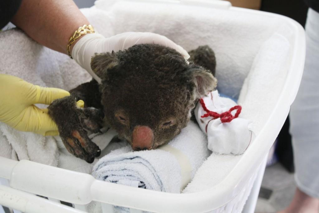 Koalaer beveger seg sakte og rekker ikke rømme fra flammene.