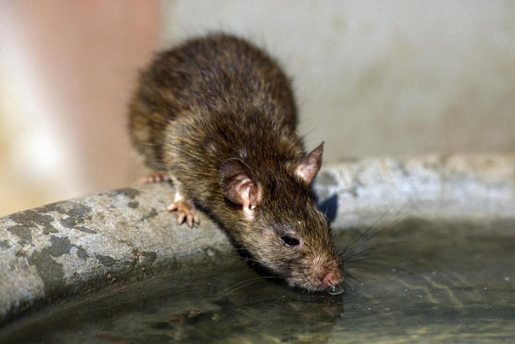 Det er lite som tyder på at det blir mindre rotter i Bergen med det første, ifølge skadedyrfirma BA har snakket med. – Rotter er som deg og meg, de sier ikke nei til et luksusmåltid hvis noen setter det frem til dem, sier teknisk sjef i Rentokil, Arne Nese. (Illustrasjonsfoto).